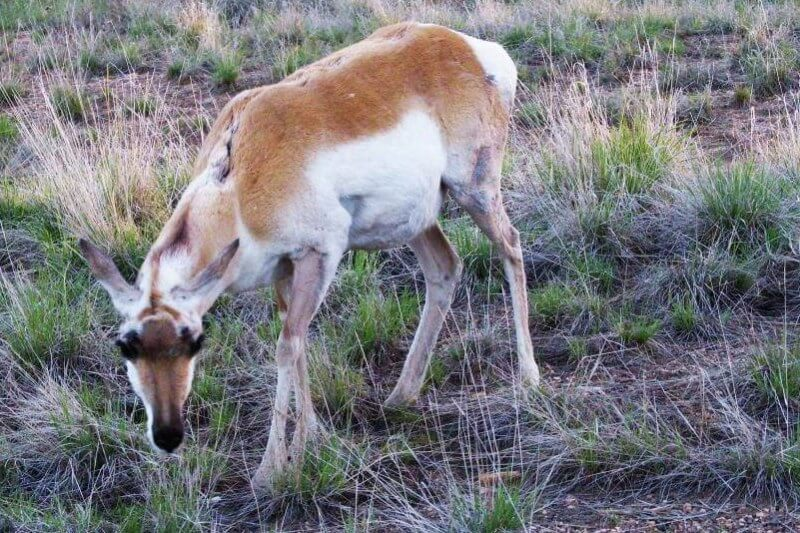 Pro g-horned-antelope in Bryce Canyon National Park