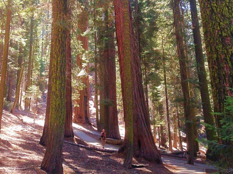 Congress-Trail-pines Sequoia National park