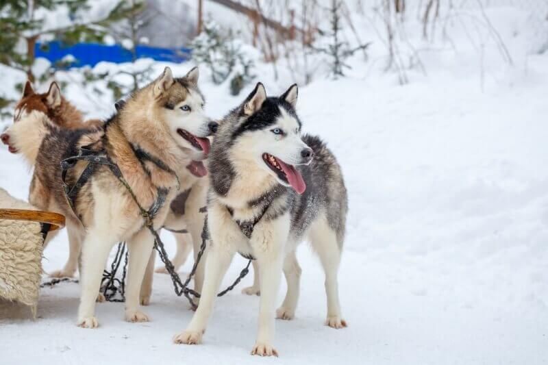 Dog-sledding-is-one-of-the-Grand-Teton-things-to-do