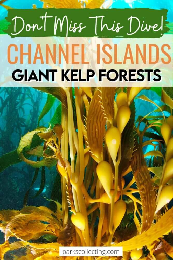 Dont Miss This Dive_Channel Islands Giant Kelp Forests