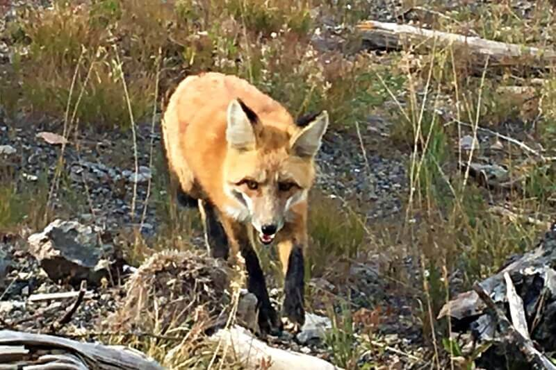 Fox-seen-on-Grand-Prismatic-Hot-spring-Overlook-Trail Yellowstone