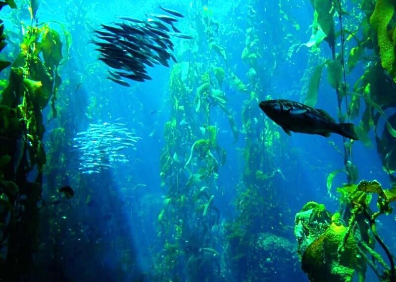 Kelp_Forest-Channel Islands