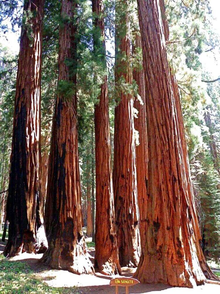 The-Senate-Sequoia-National-park Congress Trail