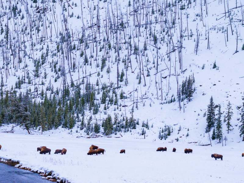 Yellowstone Winter Lamar Valley and bison