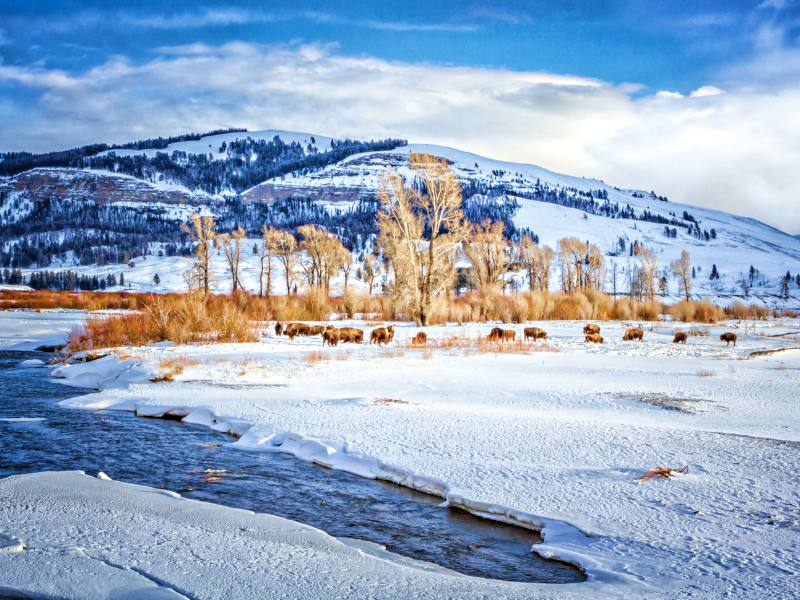 Yellowstone Winter bison and snow and river