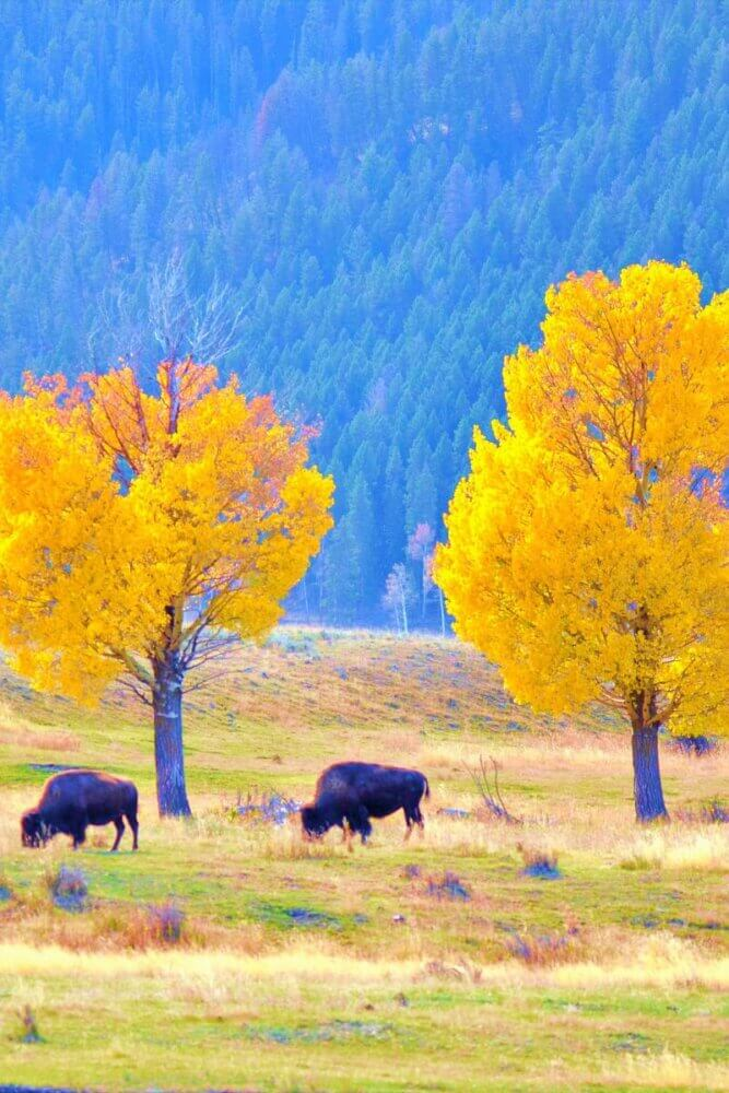 bison under yellow trees - Yellowstone in the fall