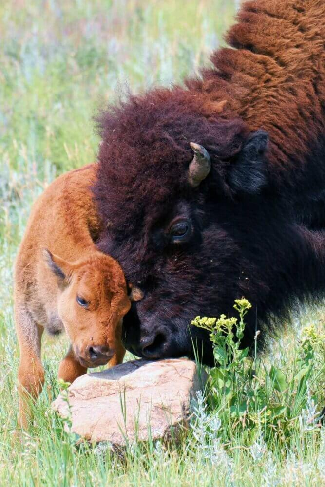 baby bison yellowstone national park